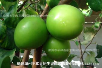 植物水果苗果树苗批发福建青枣产地台湾大青枣苗翠蜜枣贵妃枣