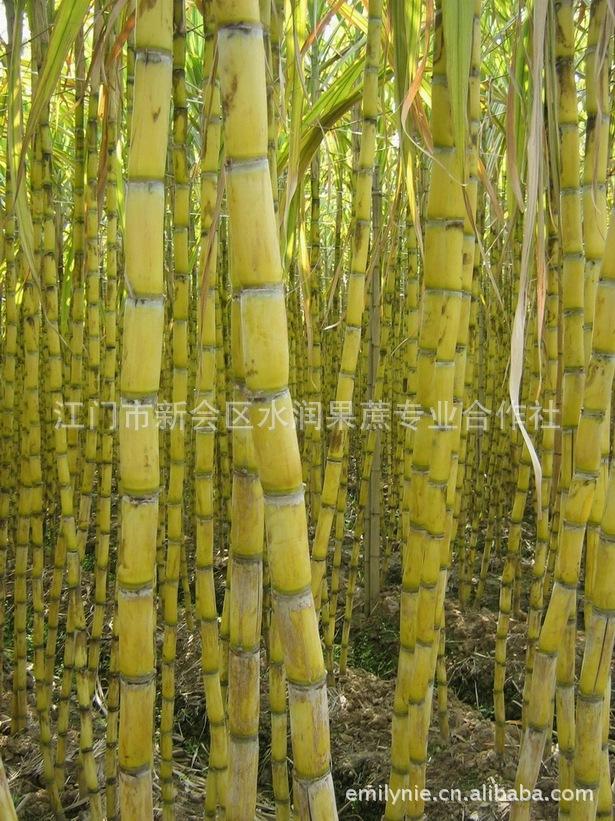 大型示范甘蔗合作社供应甘蔗种 黄皮甘蔗种 青皮甘蔗种 甘蔗苗